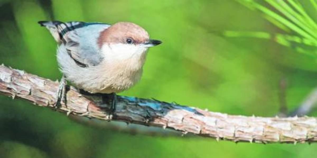 Las otras víctimas de Dorian: habría causado la extinción de un pájaro en Bahamas