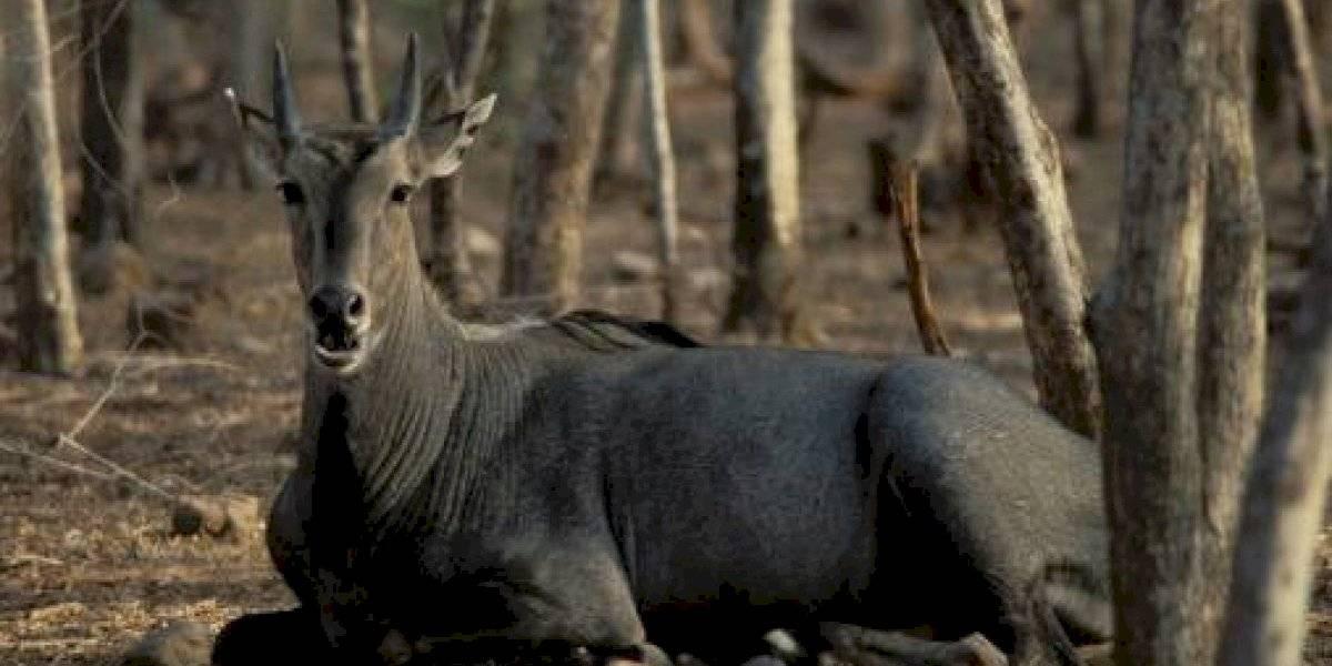 Dramático registro viral: enorme toro azul fue herido y enterrado vivo en la India después que el gobierno ordenara matanza