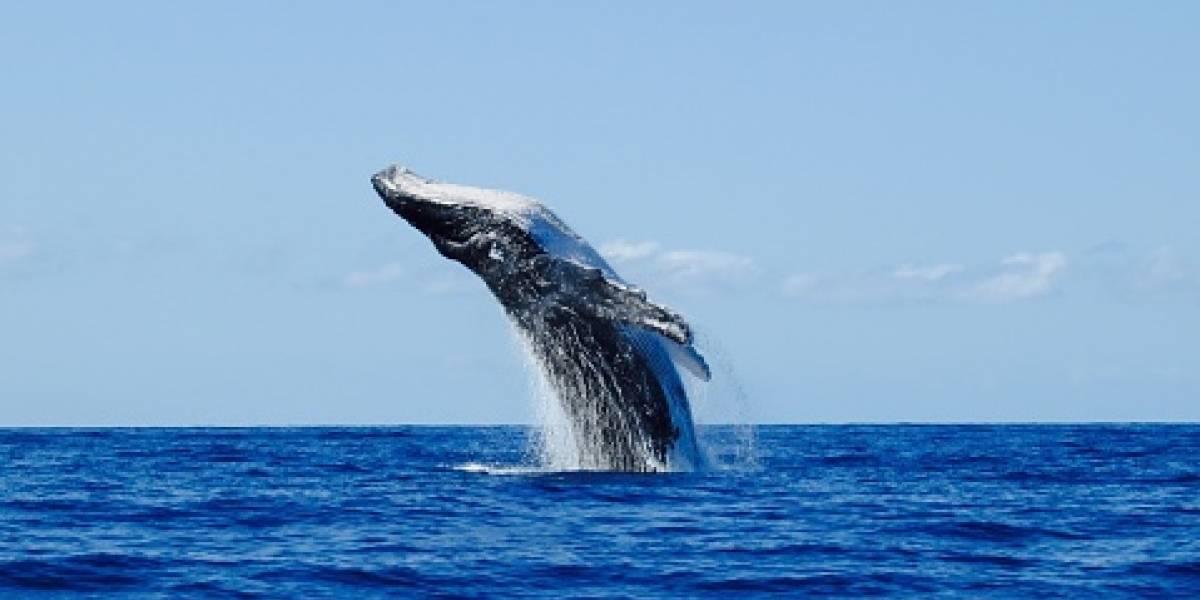 """""""Todavía hay muchas cosas que no sabemos"""": científicos descubren una nueva especie de ballena en las costas del Pacífico"""
