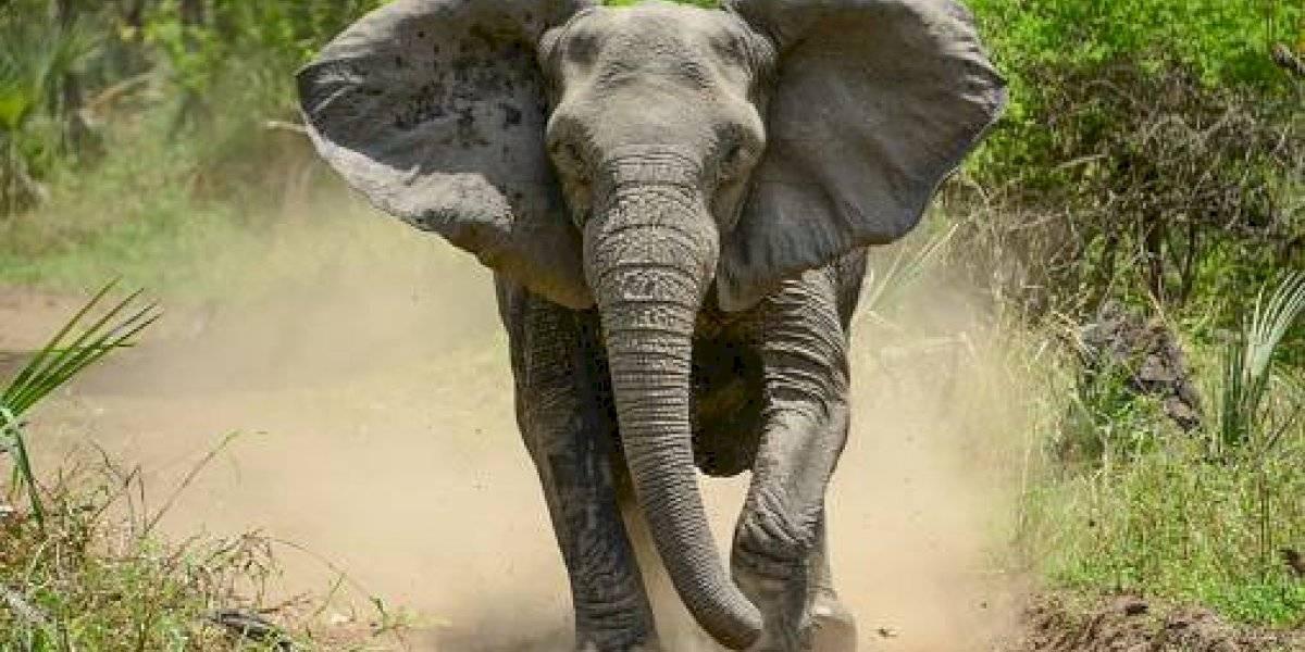 Impactante registro: elefante provoca una estampida tras perder el control y pisotea a decenas de personas en procesión budista