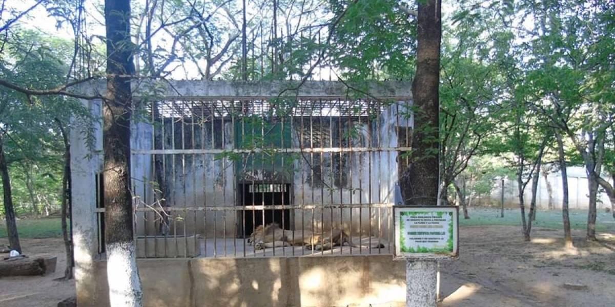 "Zoológico de Zacapa responde por ""mal estado físico"" de león"