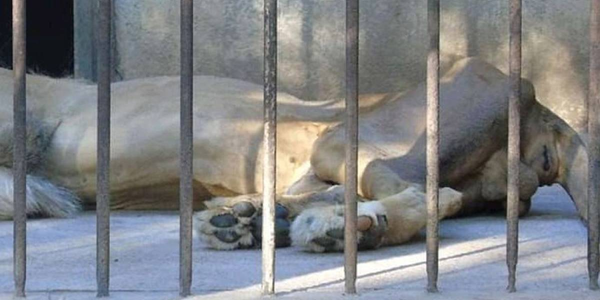 CONAP se pronuncia ante situación de león en Zoológico de Zacapa