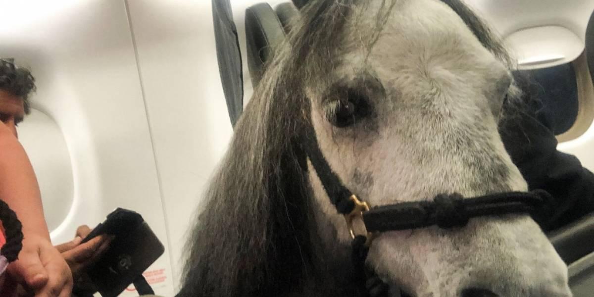 Mujer viajó con su caballo miniatura en la cabina del avión como apoyo emocional