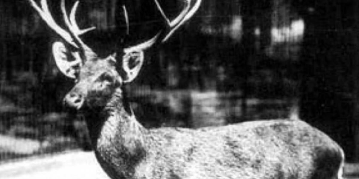 Parece ser que un ciervo pasó de estar extinto a ser parte de las especies en peligro