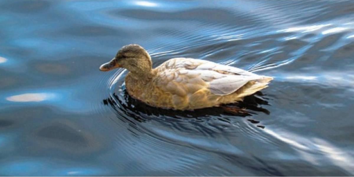 ¡Indignante! Estudiantes golpean salvajemente a un pato que nadaba tranquilo en el agua