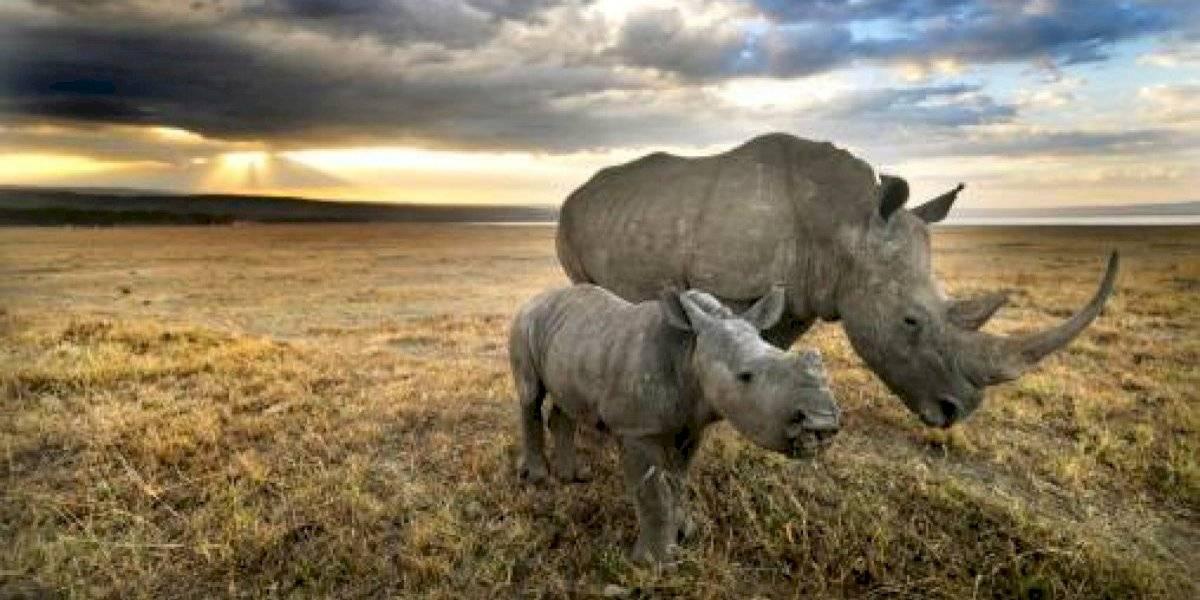 Hito científico: logran crear dos embriones viables del casi extinto rinoceronte blanco