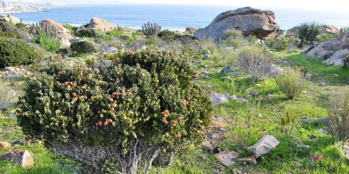 Lúcumo y lucumillo: los arbustos nativos que están en peligro crítico por la extinción de la megafauna y el clima desértico
