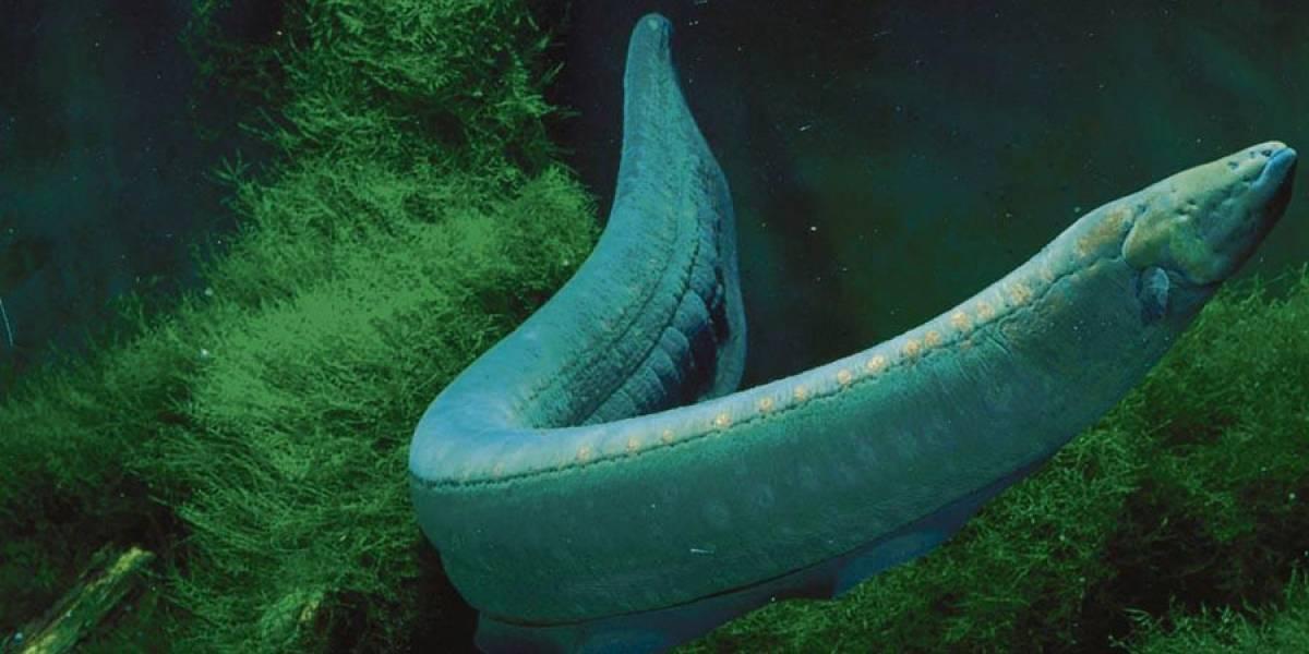 Descubren una nueva especie de anguila, que es la mayor productora viva de bioelectricidad que existe