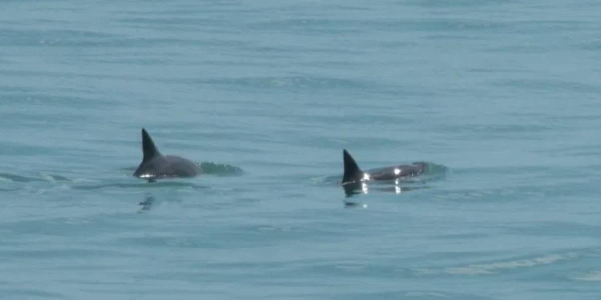 Se logran ver 6 especímenes de vaquita marina en México por primera vez este año