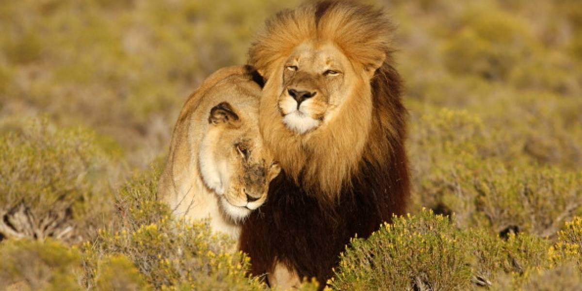 """Permitió ingreso de """"trofeos"""" de caza: la polémica medida del gobierno de Trump que amenaza la vida de los leones"""