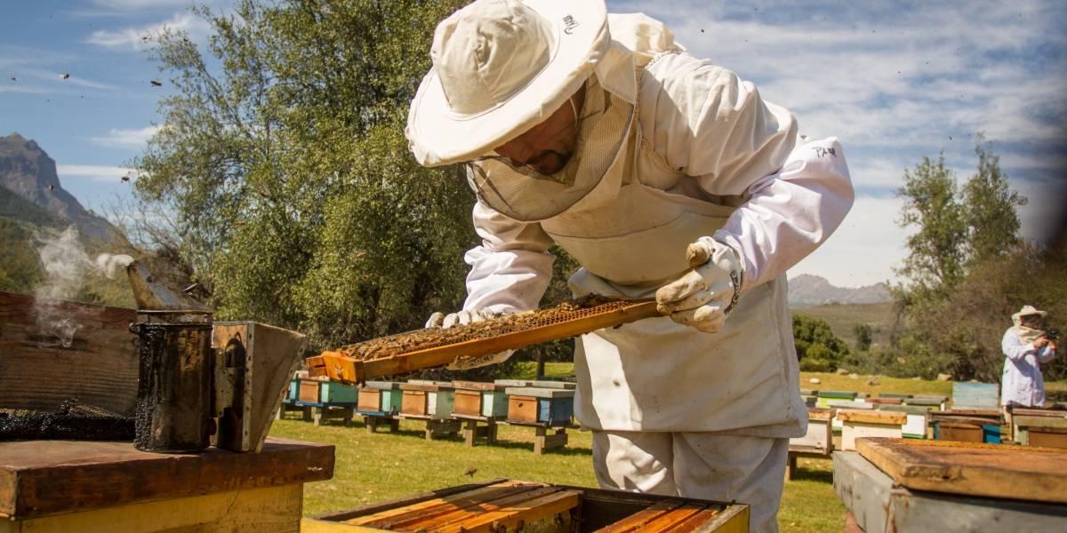 Todas iban a ser abejas reina: Chile obtuvo sede de la feria mundial de apicultura