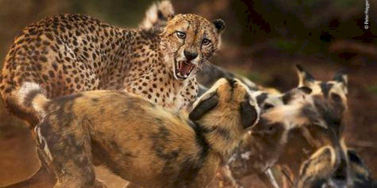 Conoce a los finalistas del Wildlife Photographer of the Year