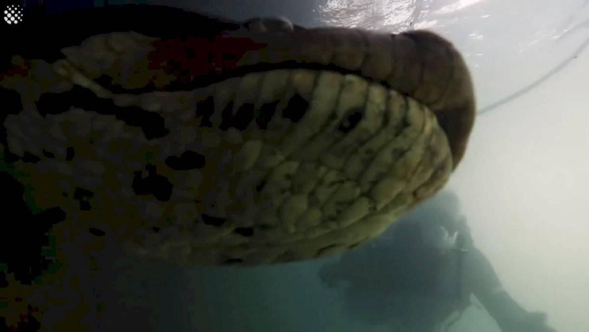 Increíble: Mira las imágenes que captaron dos buzos que se encontraron con una anaconda de 7 metros