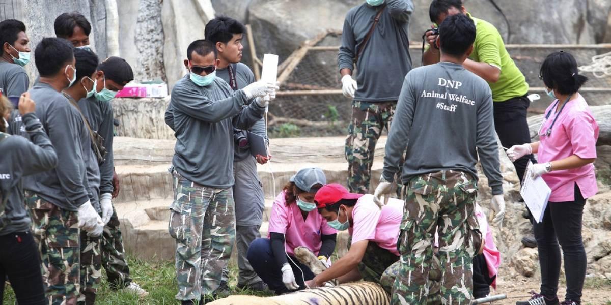 Mueren 86 de los 147 tigres rescatados de templo budista en Tailandia