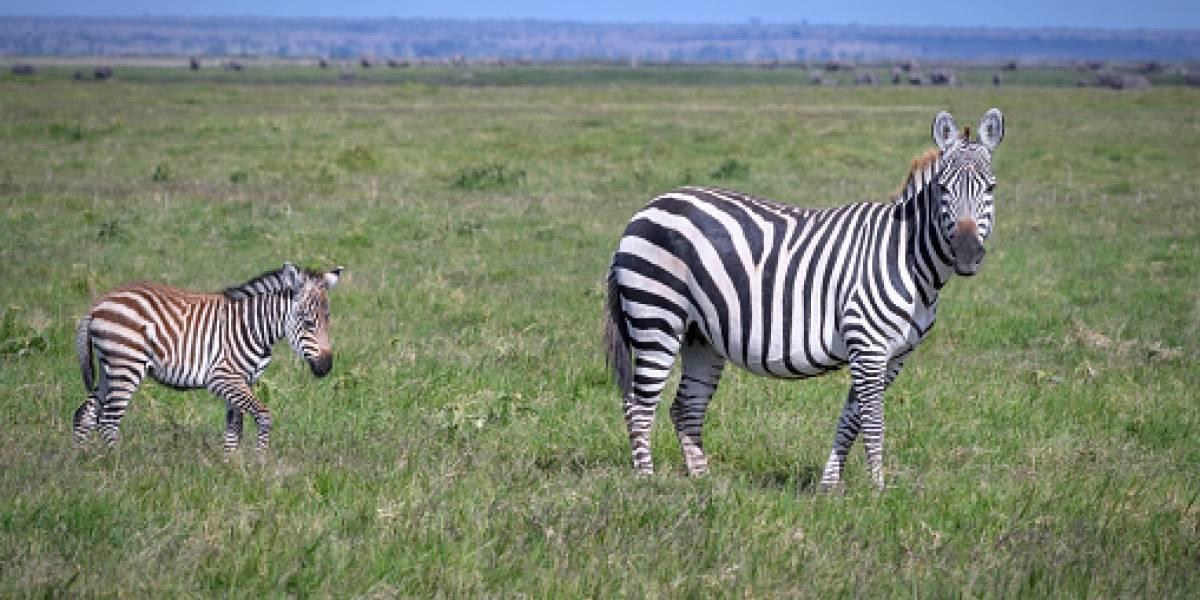 Tiene puntos en lugar de rayas: la majestuosa imagen de una singular cebra bebé avistada en reserva africana