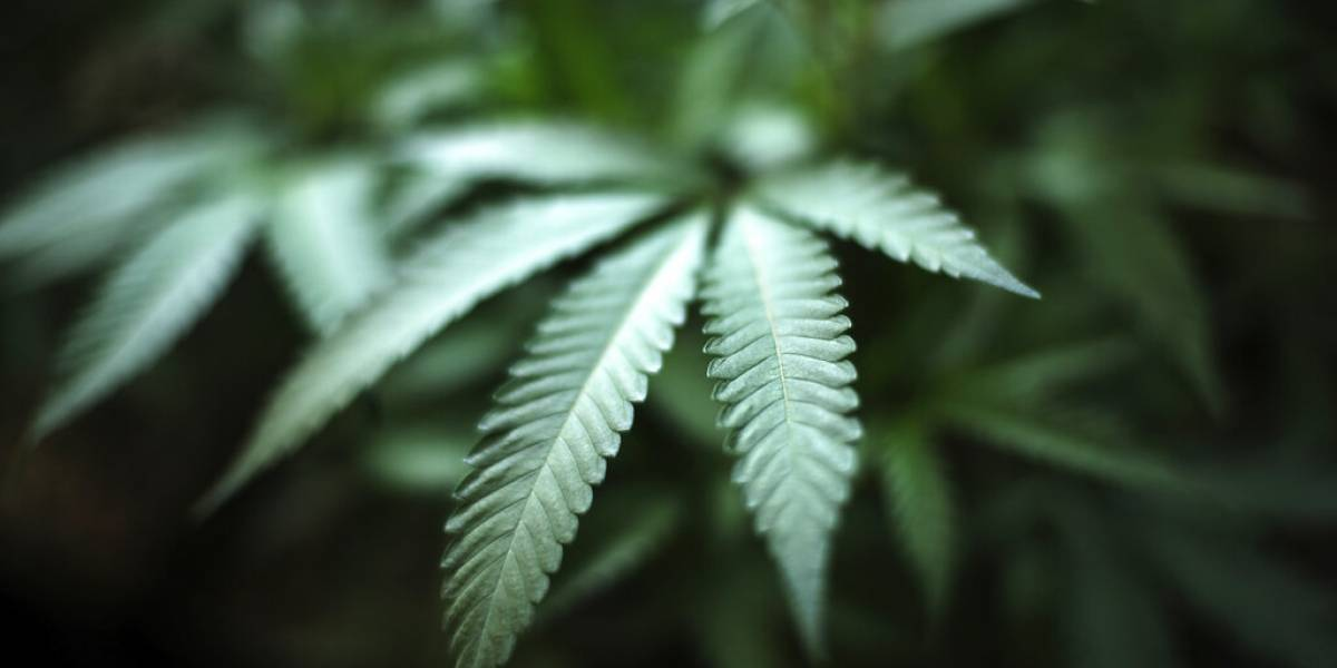Tiroteo en un cultivo de marihuana en California deja siete muertos