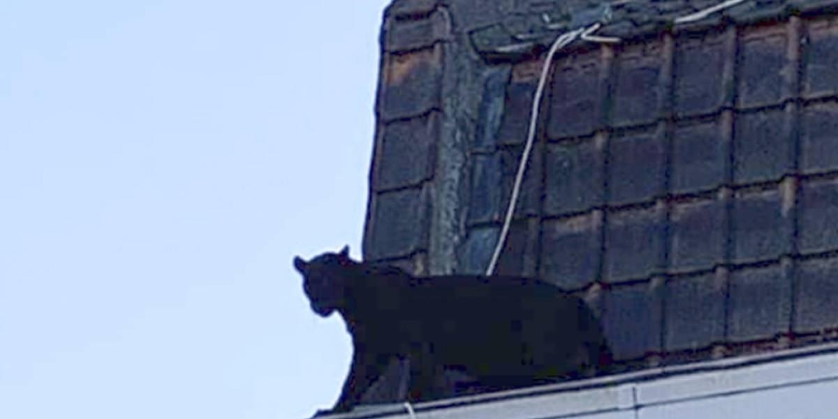 Pantera negra se pasea por los techos en Francia