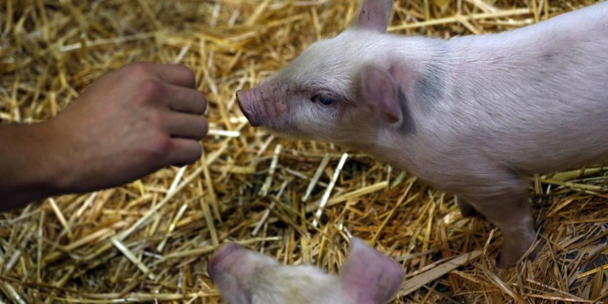 De entre 1 y 3 meses: más de 1.100 cerdos mueren calcinados en incendio de bodega en Bulnes