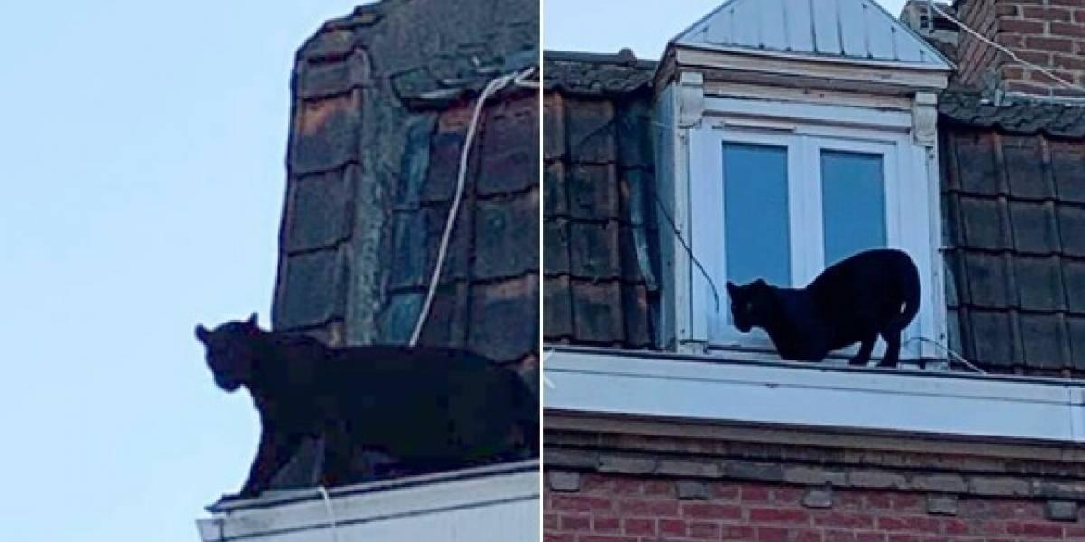 ¡Cual gato callejero! Una pantera negra se paseaba por techos cerca de Lille