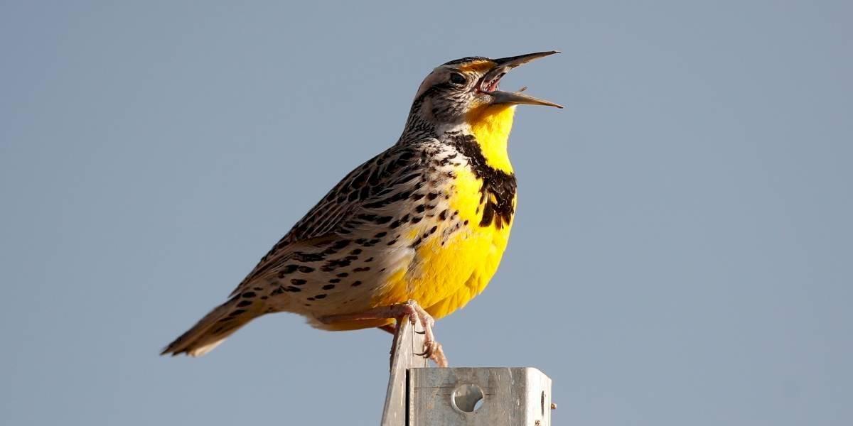 EE. UU. y Canadá han perdido cerca de 3.000 millones de aves desde 1970
