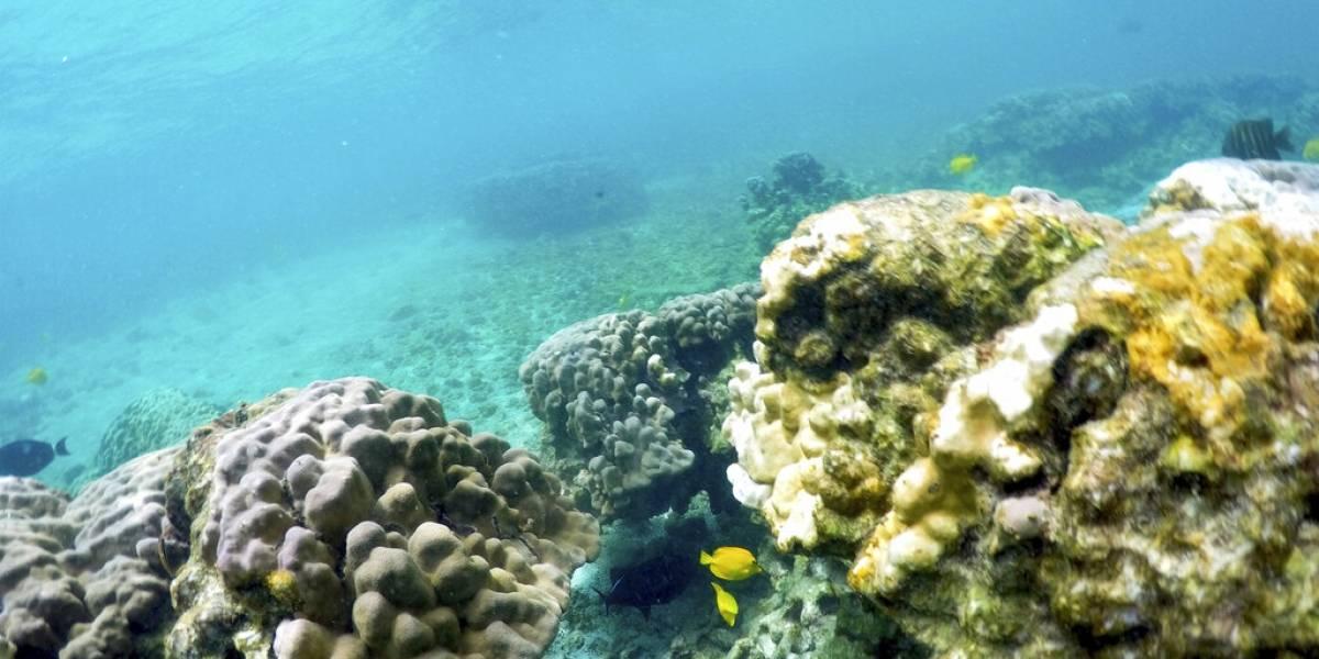 Calor oceánico amenaza a los corales en Hawai