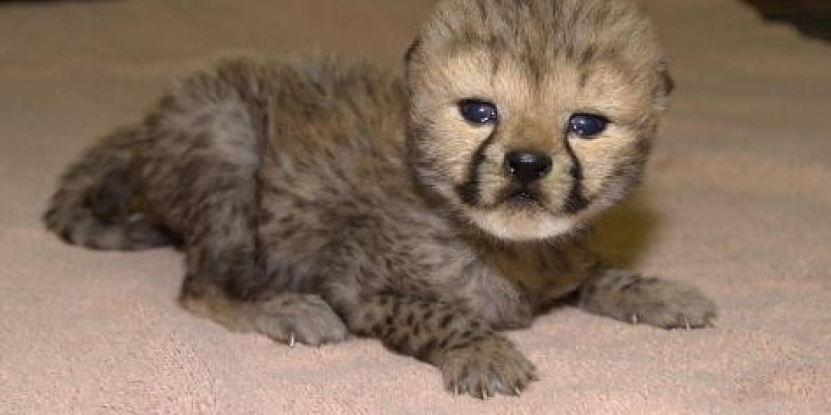 Alertan que los guepardos podrían desaparecer del planeta en dos años