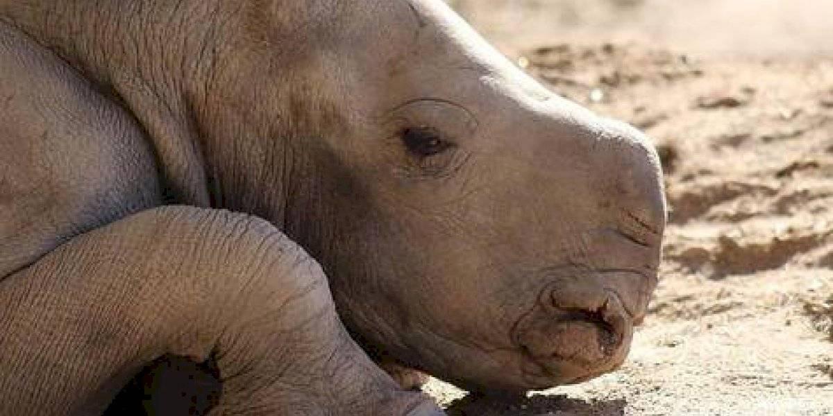 ¿Cómo llamarías a este adorable rinoceronte?