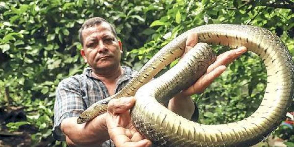 La voladora, una serpiente dócil