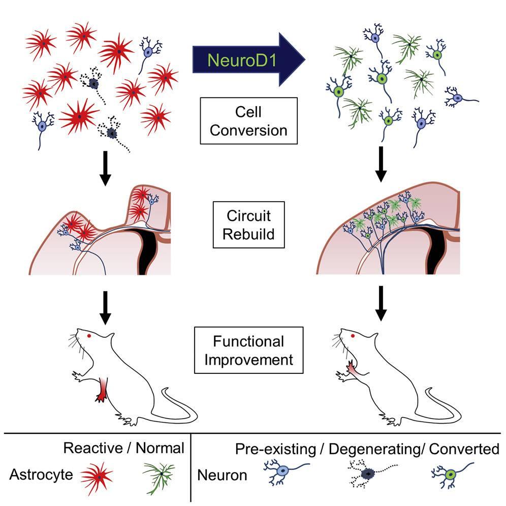 Prueban con éxito terapia génica para regenerar las neuronas pérdidas durante en accidente cerebro vascular