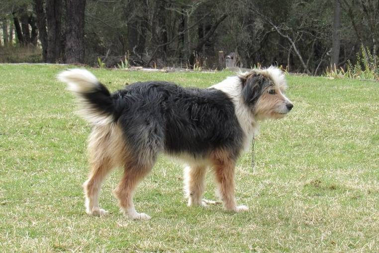 Científicos descubren que raza de perro ovejero patagón es originaria de Chile