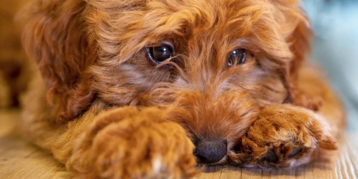 Esta es la razón por la que no debes comprar perros Labradoodles