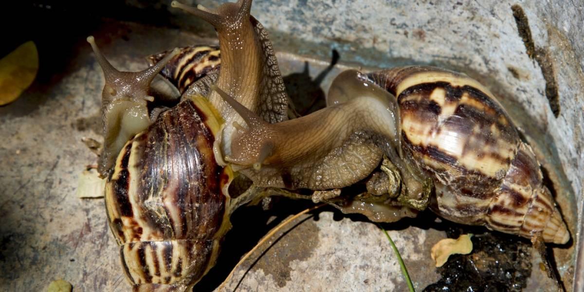 """""""Ya están en todos lados"""": plaga de caracoles gigantes azota Cuba y enciende alarmas por peligrosa enfermedad"""