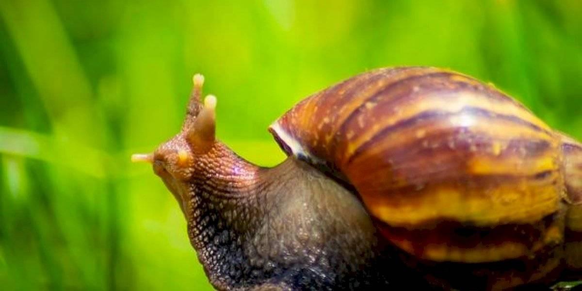 Plaga de caracoles azota Cuba y provoca alarma por peligrosa enfermedad