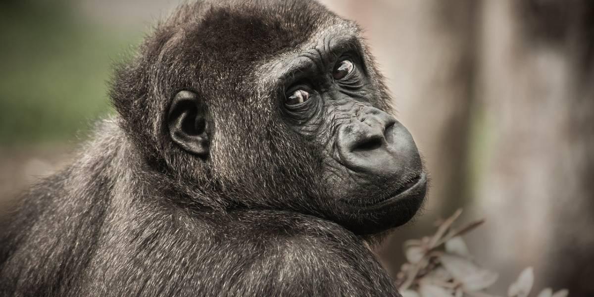 Experimento demuestra que los simios son capaces de atribuir estados mentales a sí mismos y a otros