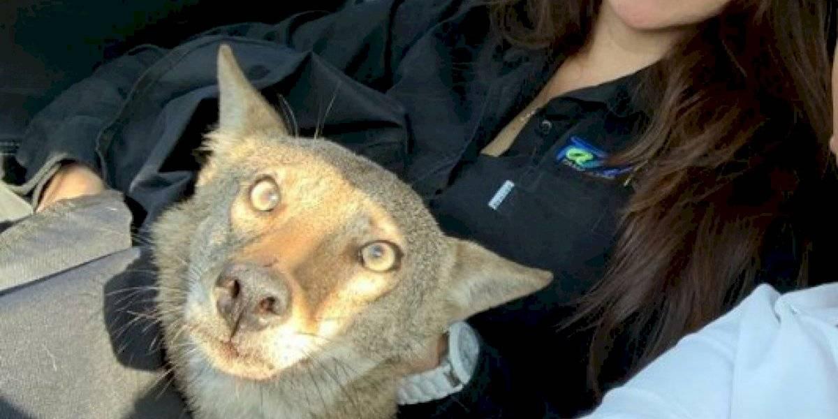 Jovem resgata coiote selvagem depois de confundi-lo com cachorro abandonado