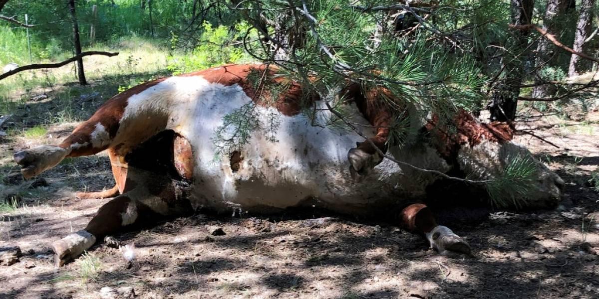 No tenían sus genitales, lenguas y ni un sólo rastro de sangre: enigma policial en Estados Unidos tras extrañas muertes de toros