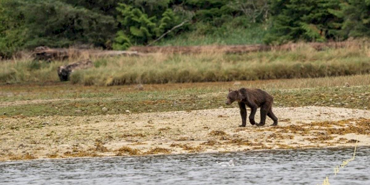 Devastadora imagen de familia de osos muriendo de hambre por crisis climática