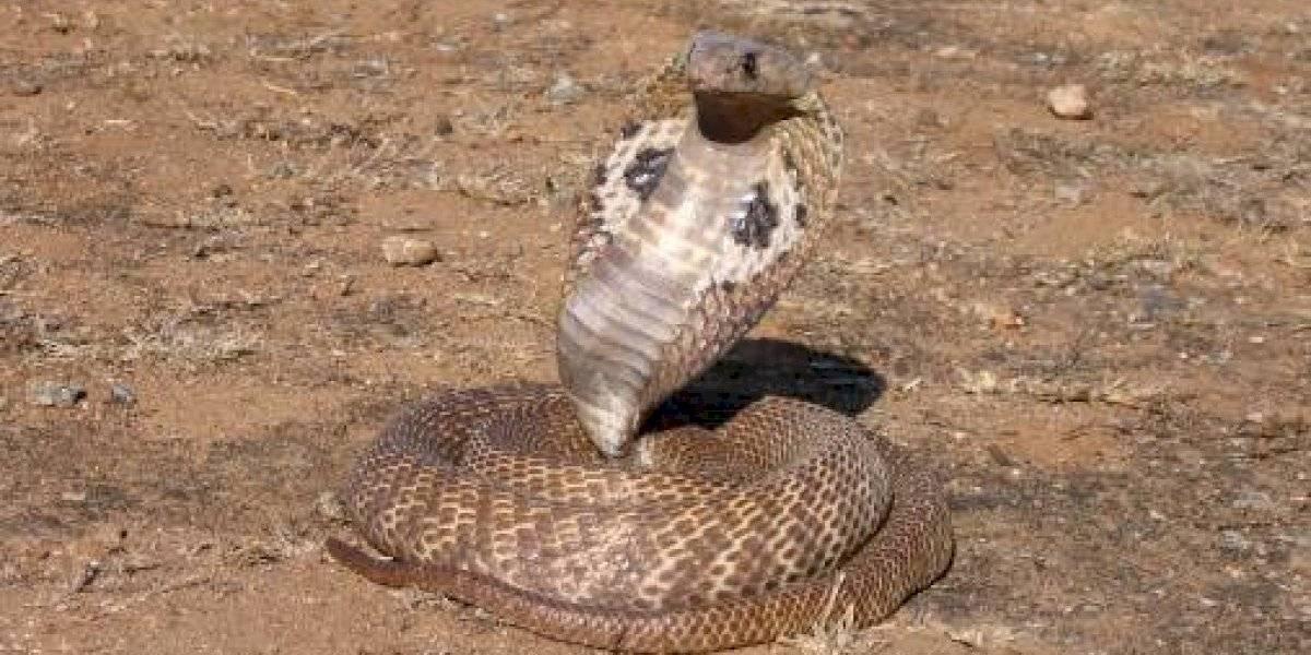 El video dejó sin aliento a las redes sociales: la épica reacción de soldado tras toparse de frente con la serpiente venenosa más grande del mundo