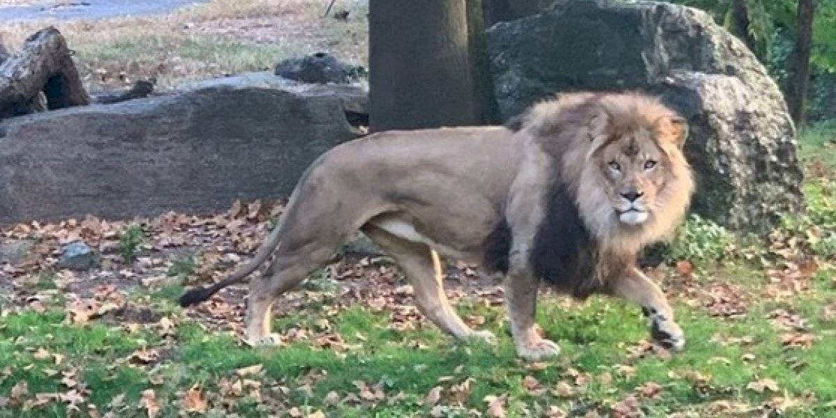 Gravam mulher invadindo cova dos leões em zoológico de Nova York