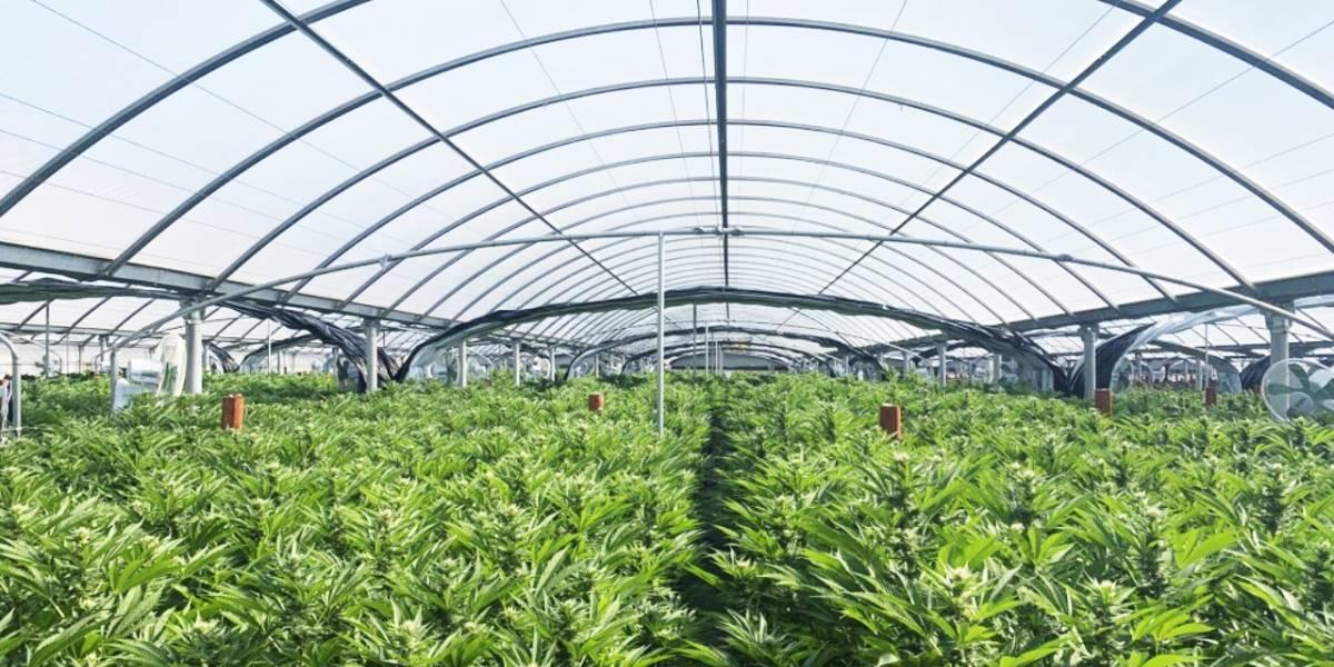 México podría ser líder mundial en venta de marihuana según la 4T