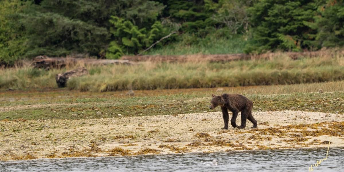 Las impactantes fotos de osos desnutridos que alertan sobre los efectos del cambio climático