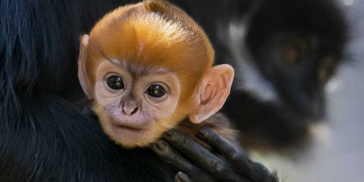 VIDEO. Así se comporta el mono de rara especie que nació en Australia