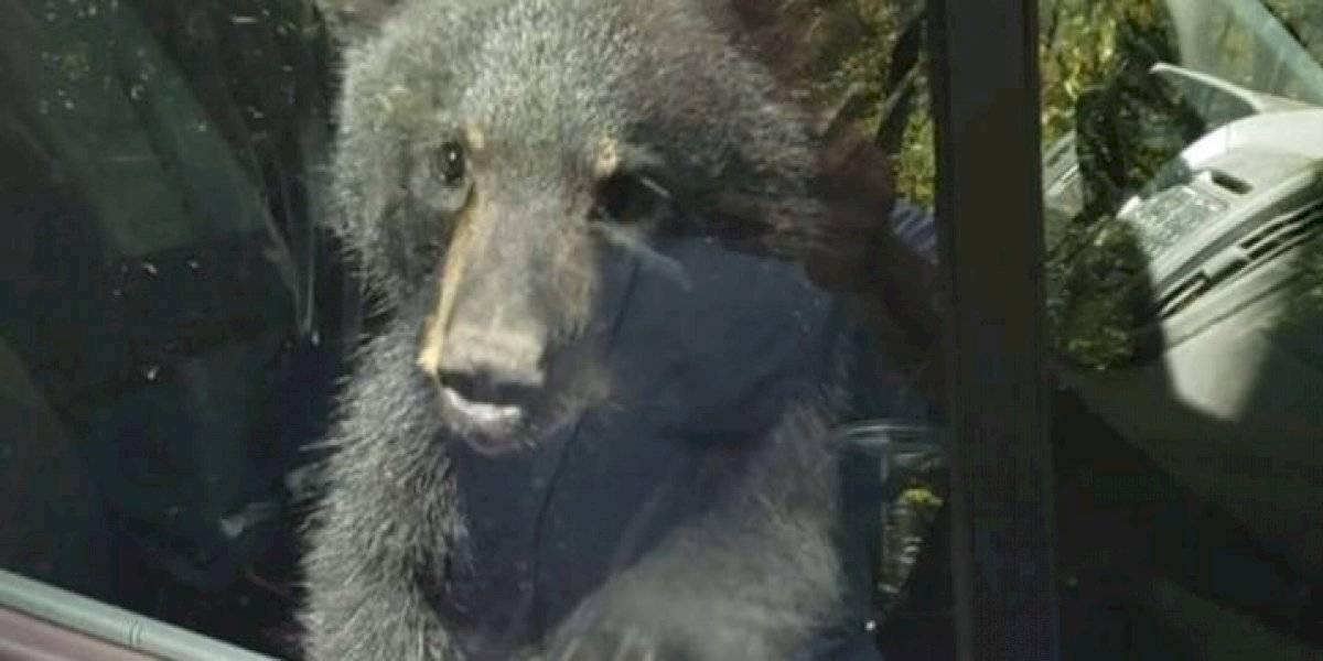 Filhotes de urso ficam presos em carro e buzinam por 20 minutos para pedir ajuda