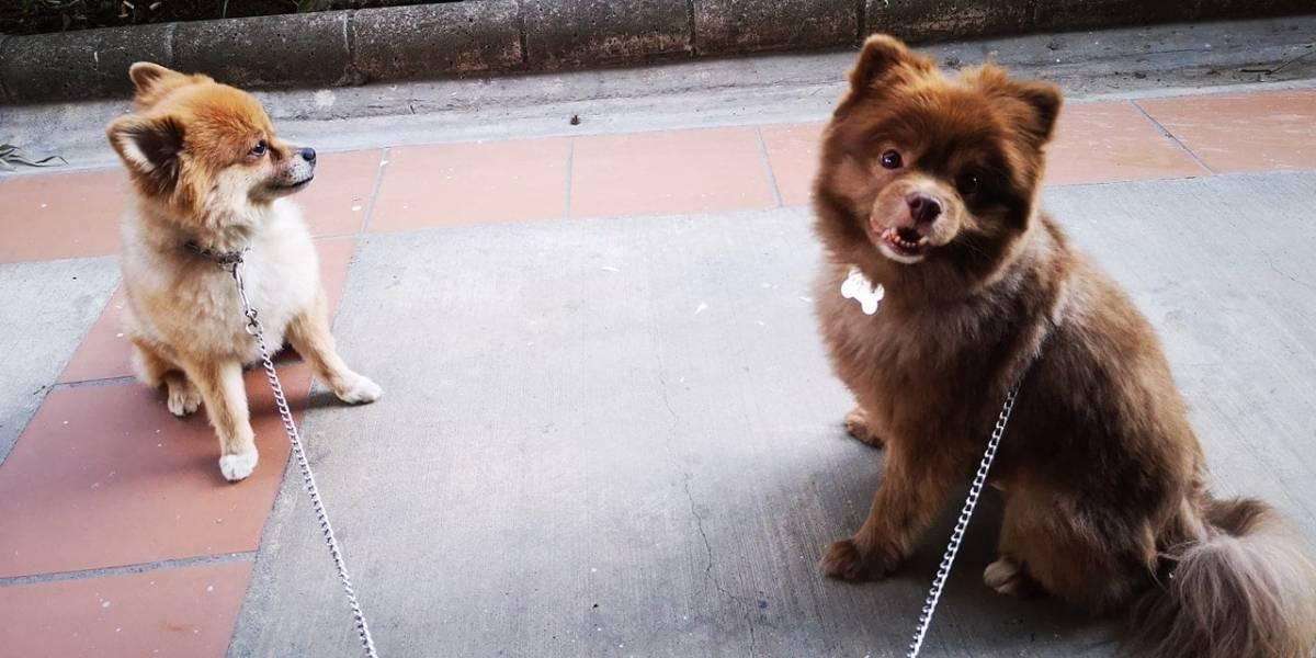 (Video) Así recuperaron uno de los dos perros que le robaron a joven que escopolaminaron