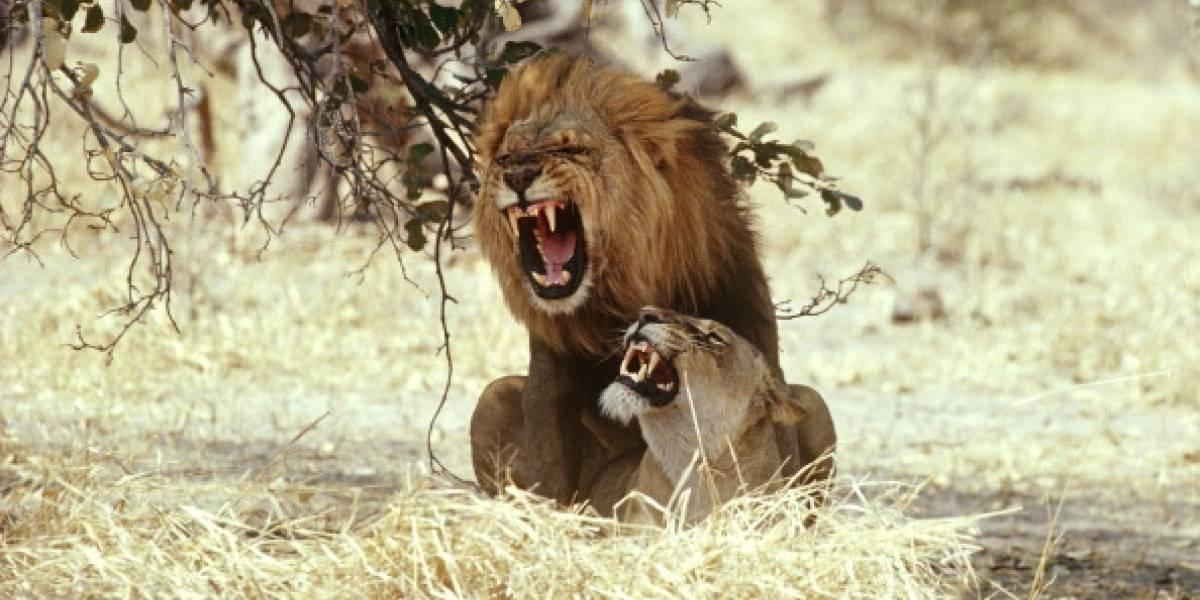 """""""Mate un león y de regalo le damos una leona"""": la polémica """"oferta"""" que indigna a agrupaciones animalistas del mundo"""