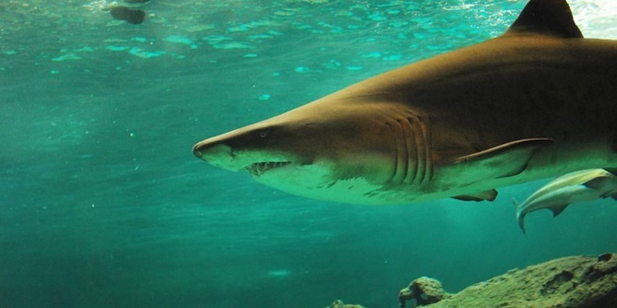 Amenazas y esfuerzos para proteger a los tiburones en Latinoamérica