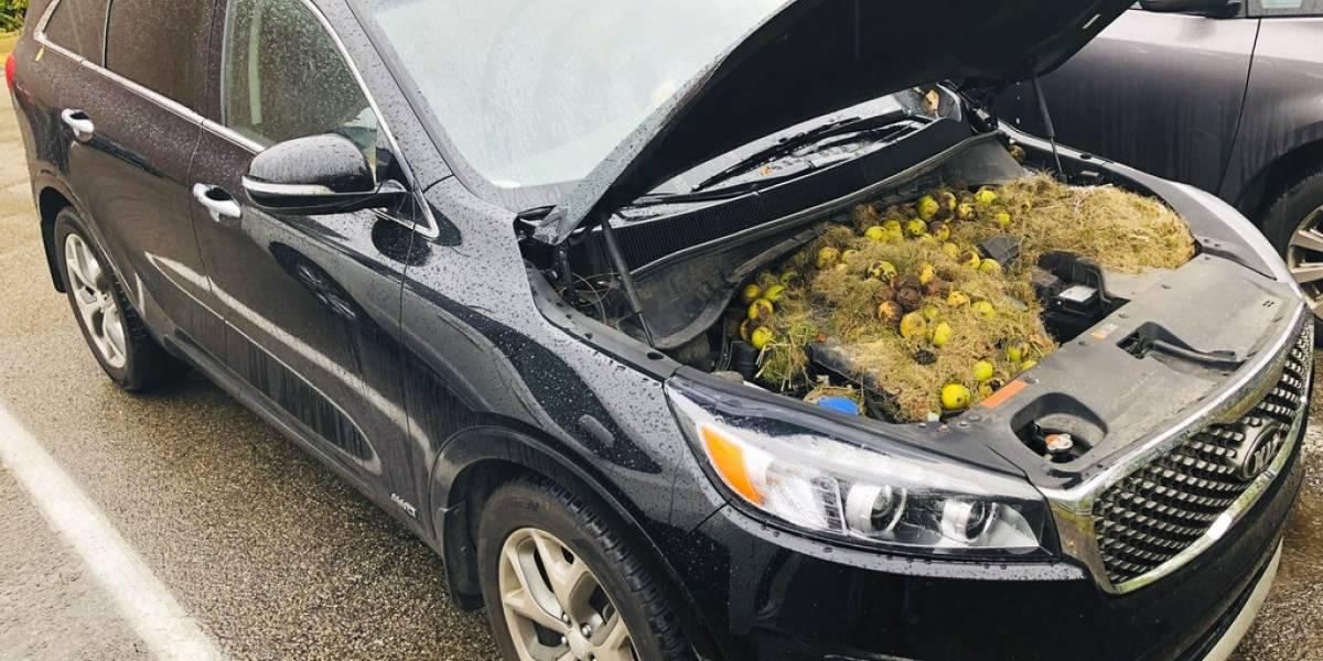 Familia descubre que las nueces de sus árboles desaparecieron y las hallaron en el lugar más insólito: ardillas las escondieron en el capó de su auto