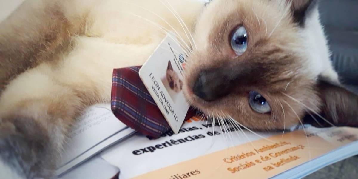 OAB-AP adota gato como 'funcionário'; bicho ganha até crachá