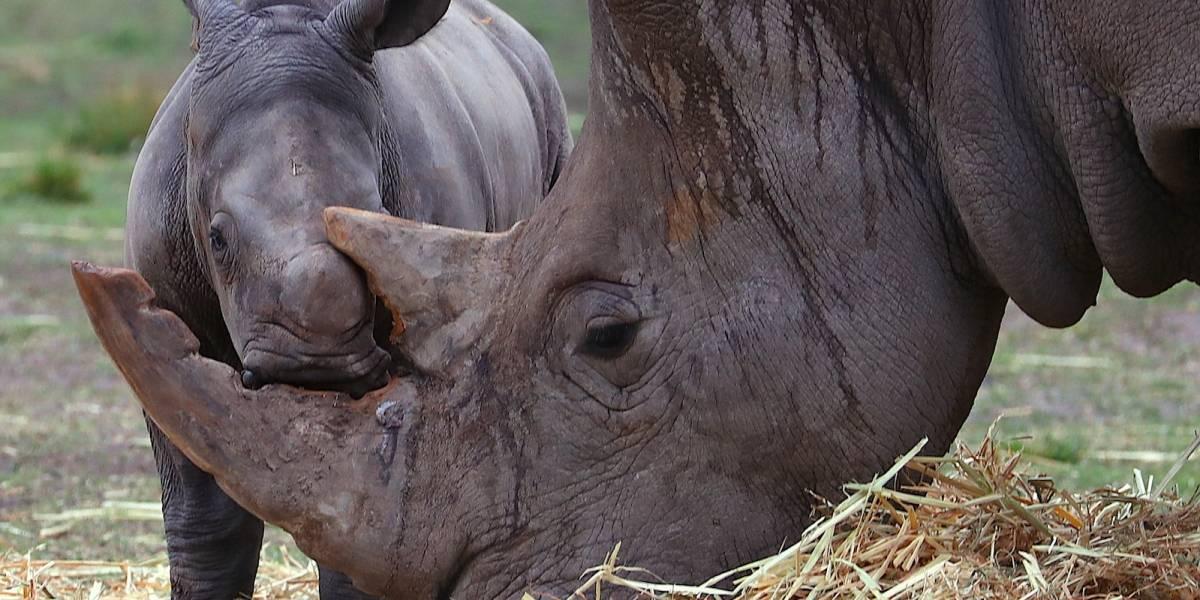 Por cacería humana, rinocerontes podrían extinguirse en 3 años