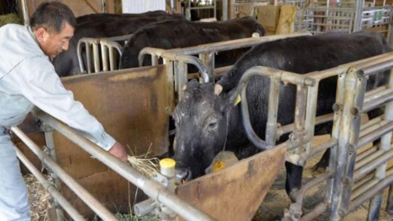 Tristeza: La primera vaca clonada en la historia ha muerto